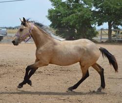 Xiva Warlander filly