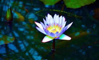 blue rainbow lotus.jpg