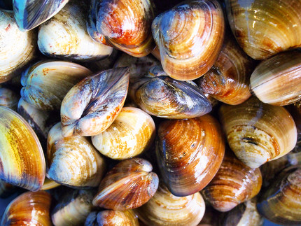 Clams and Oysters have different Vibrio concentrations