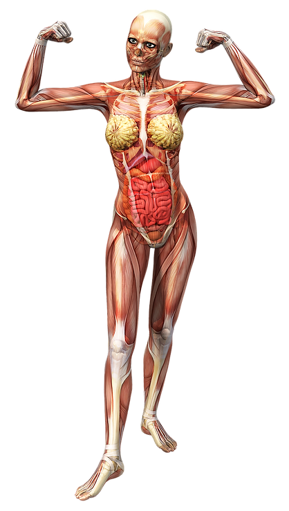 anatomy-2901127_1280.png