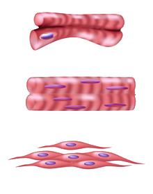 Drie-typen-spierweefsel.png
