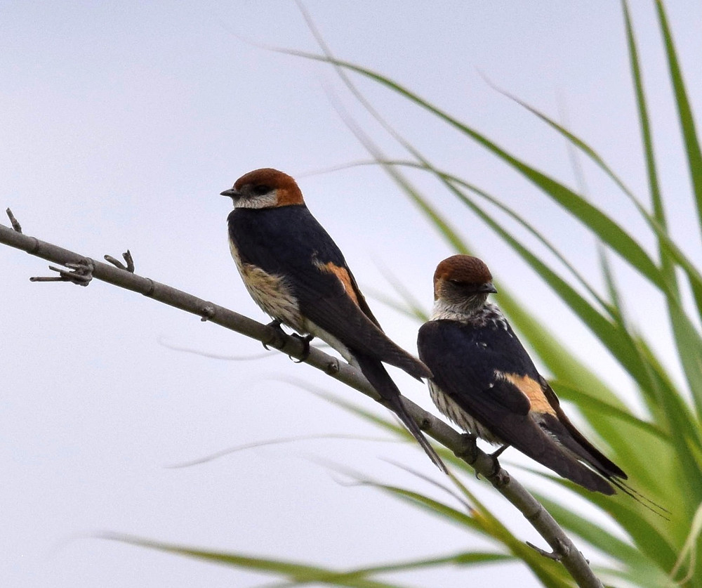 Greater-striped Swallows