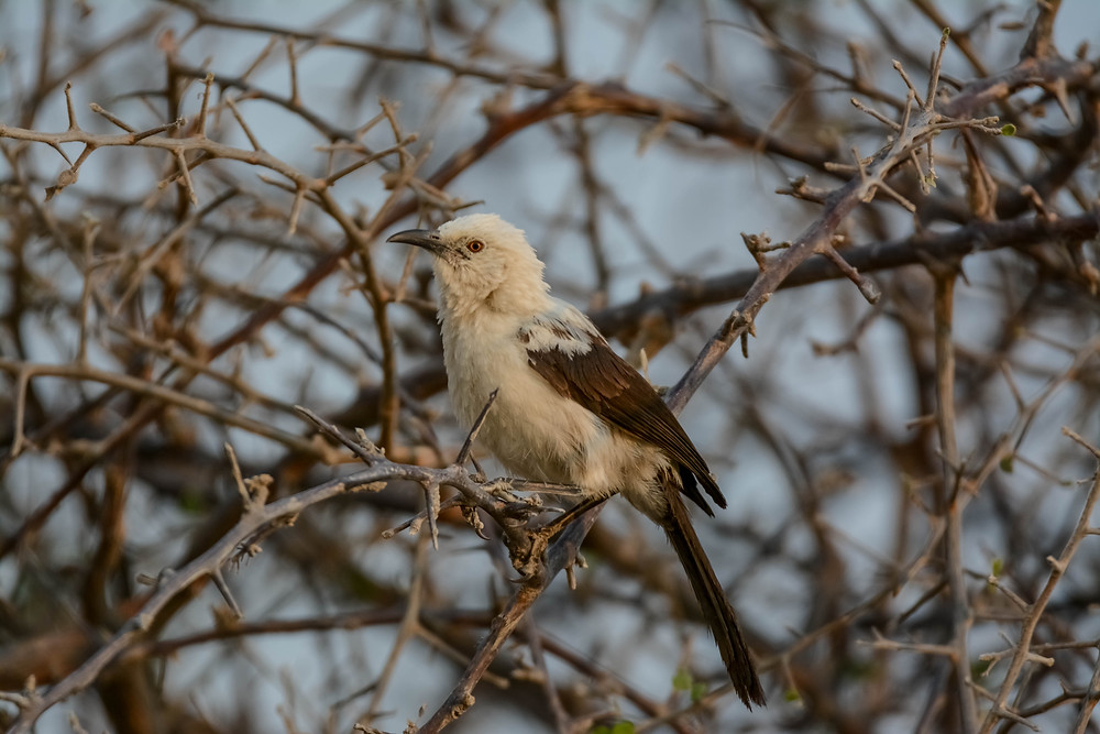 Southern Pied Babbler