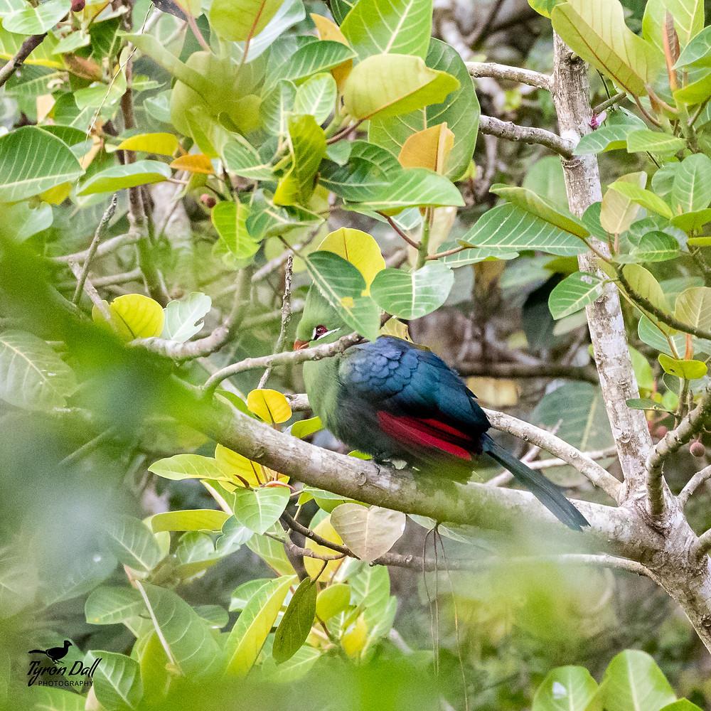 Livingstone's Turaco - Little Eden