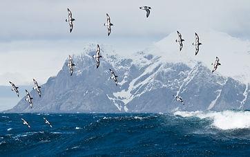 Cape Petrel by Dusan Brinkhuizen.jpg