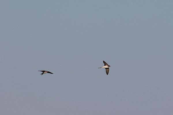 Grey-rumped Swallows