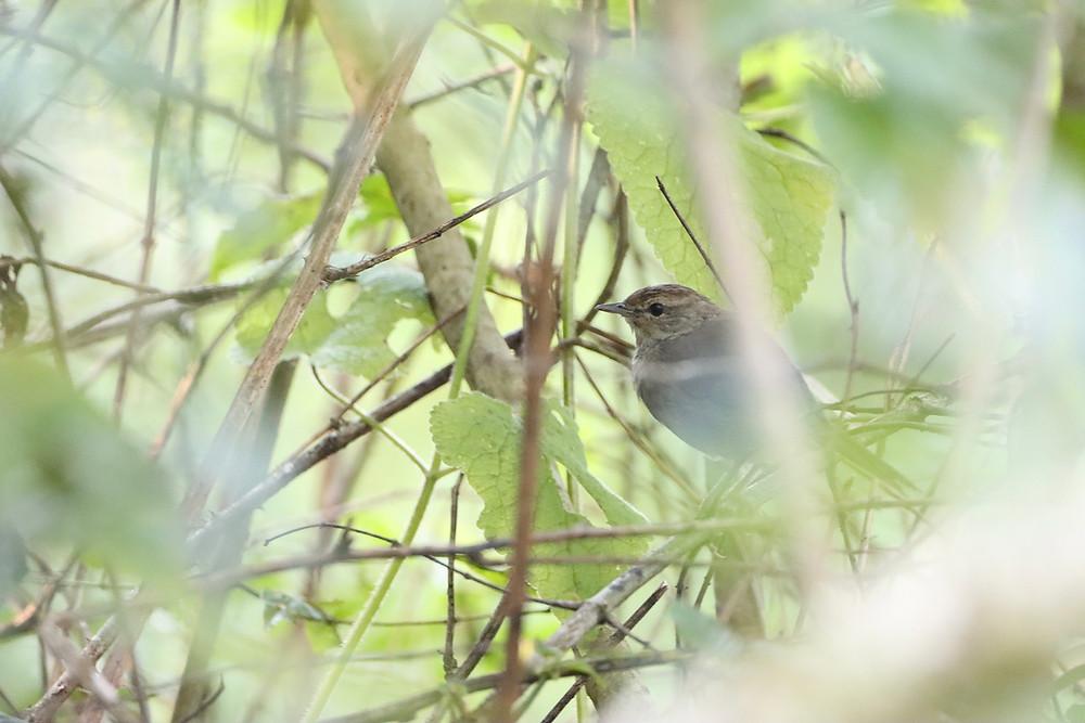Barratt's Warbler
