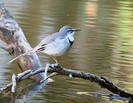 Mountain Wagtail (9) - Copy.JPG