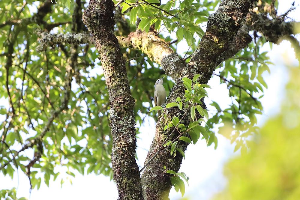 Yellow-streaked Greenbul