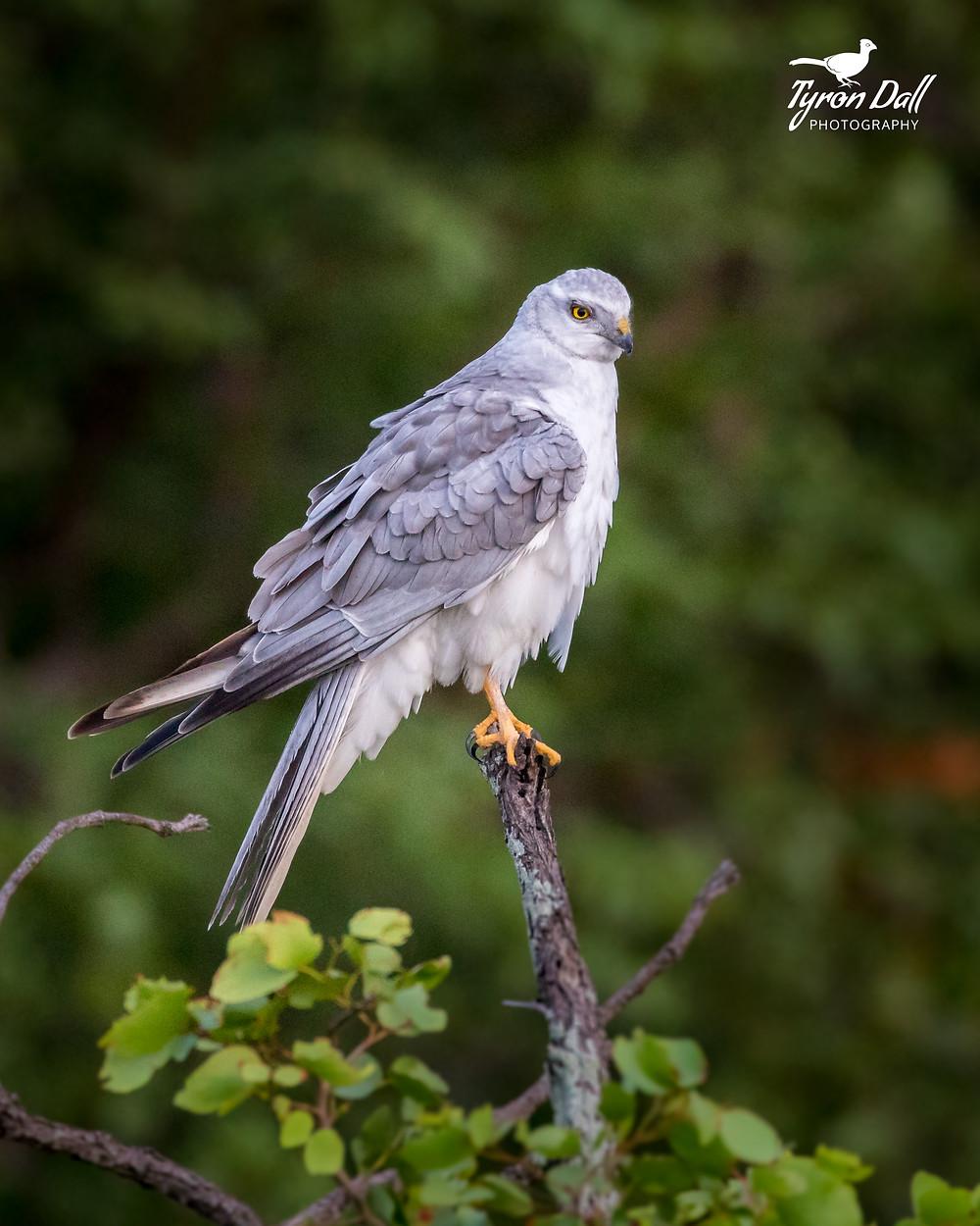 Pallid Harrier - Mopani area - Kruger Park