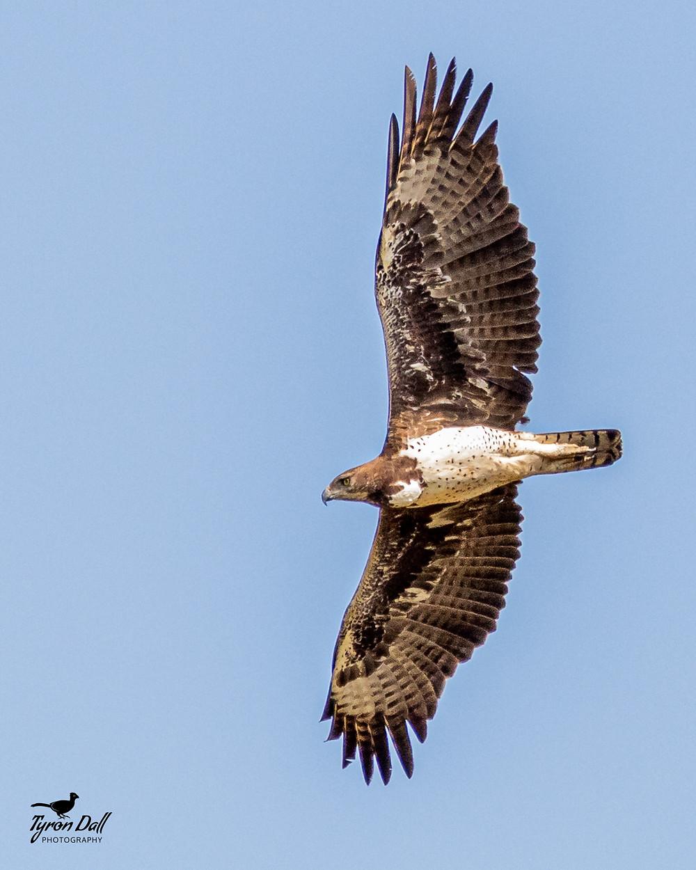 Martial Eagle, Isimangaliso Wetlands Park