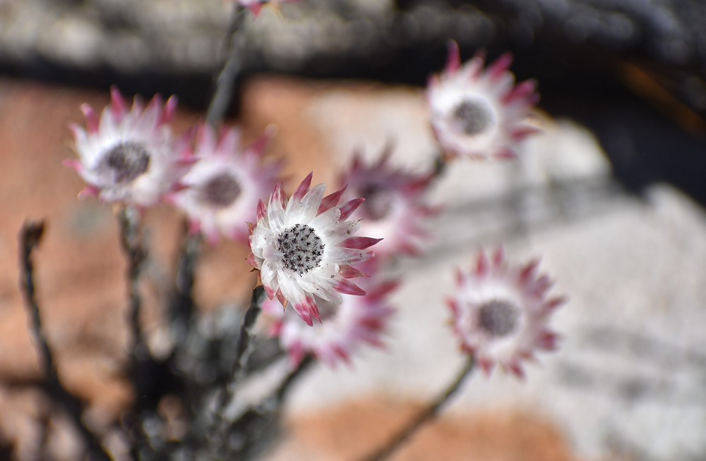 Pink Sewejaartjie flower