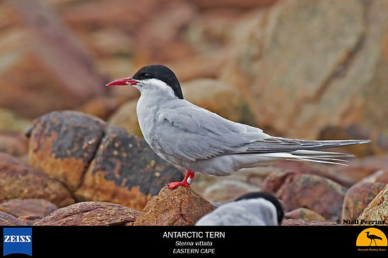 EC-tern-antarctic_2767.jpg