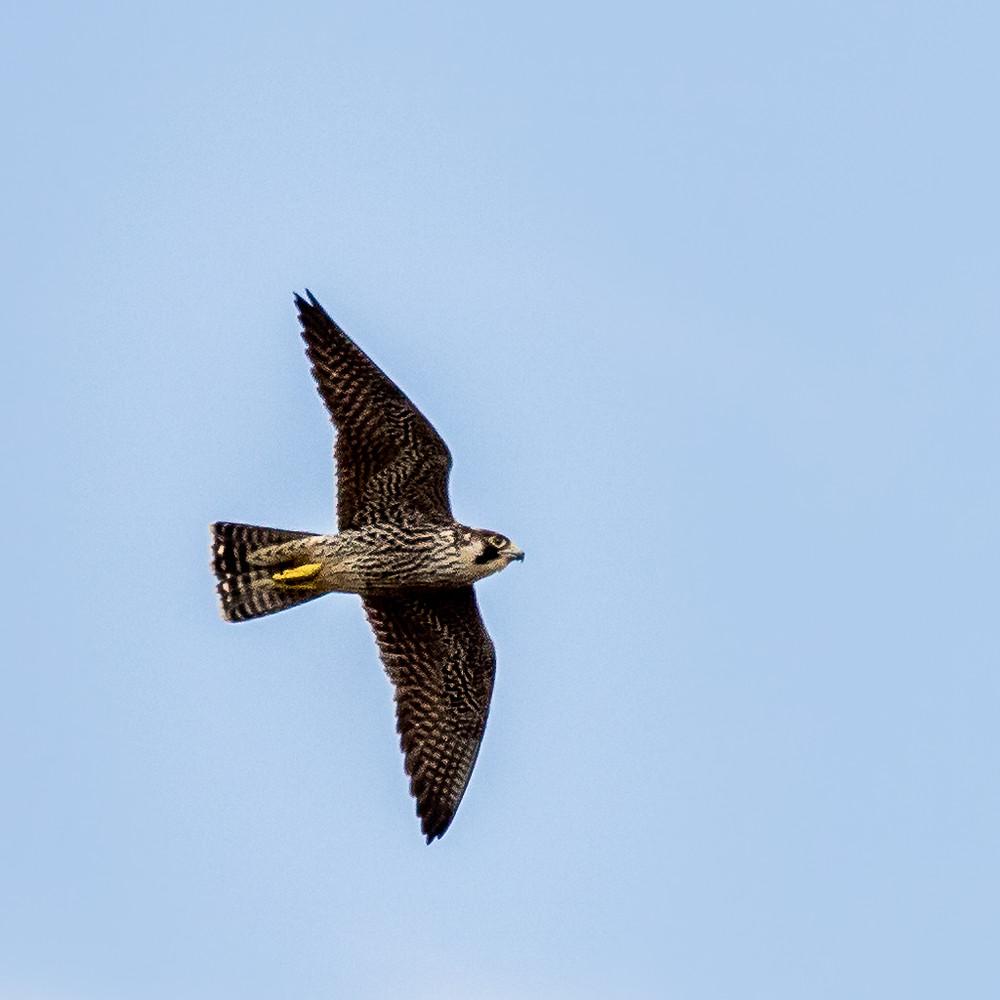 Peregrine Falcon -  Amanzimtoti