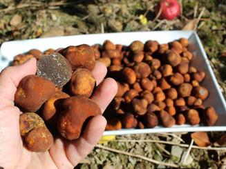 Première récolte en 2017, truffe des Appalaches  chez ArborInnov