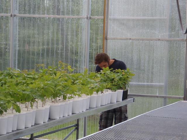 Production arbres truffiers en serre