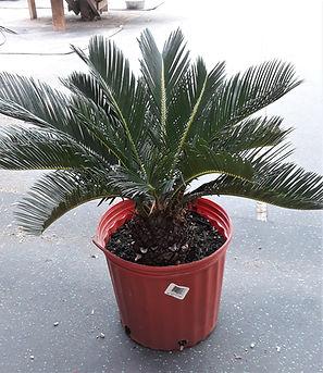 Palm Sago.jpg