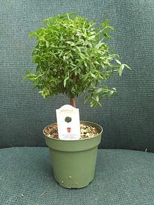 Myrtle-bonsai.jpg