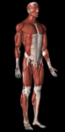 musculoskelatal sytem of the human body