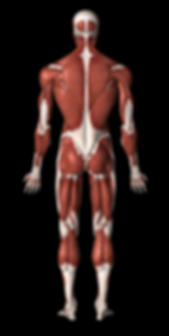 musculoskeletal system of the human body