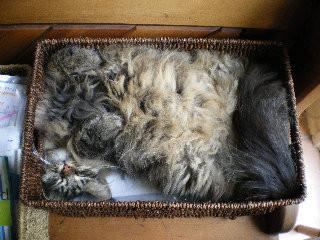 Siberian cat in a box like Schrodinger's cat
