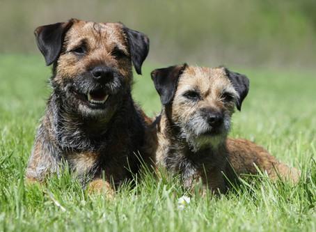 Paroxysmal gluten-sensitive dyskinesia in Border terriers