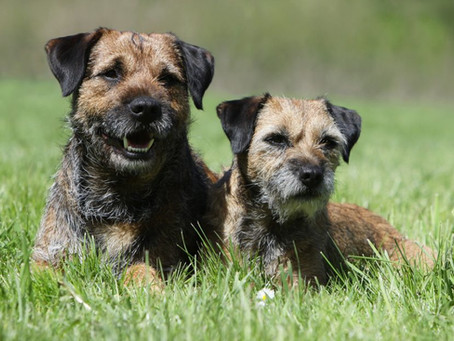 Paroxysmal gluten-sensitive dyskinesia in Border terriers