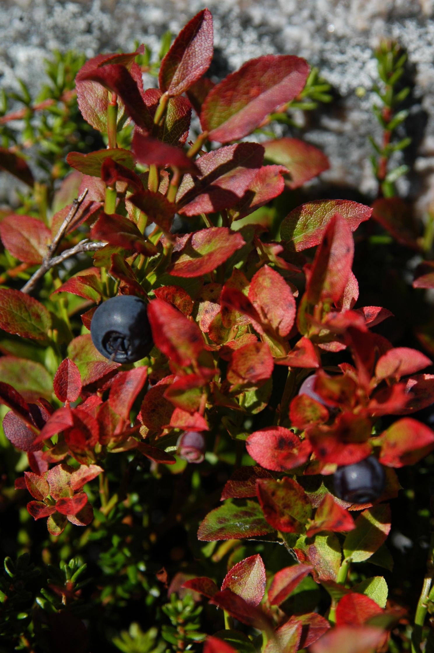 Blåbær 10. sep. 2005, 15.06 1488x2240