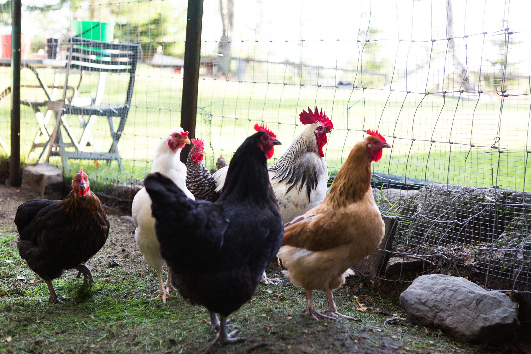 Høner-og-hane
