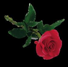 sacred-rose.png