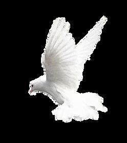 sacred-pigeon.png