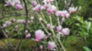 Magnolia_x_ soulangeana.jpg