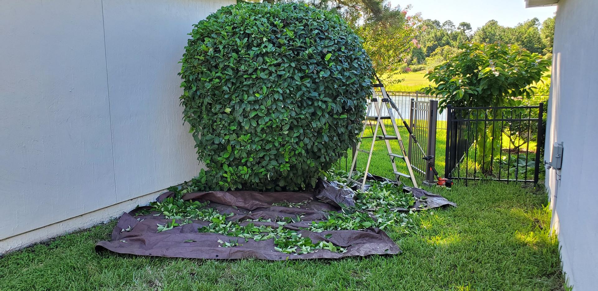 Hedge Trimming, Fernandina Beach FL