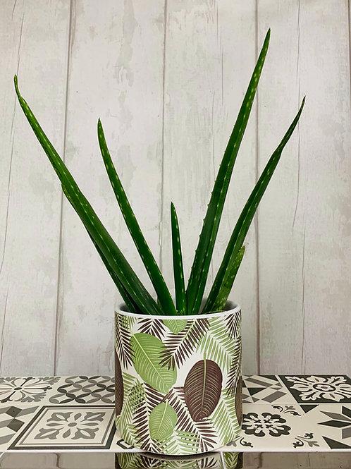 Aloe Vera in large leaf pot