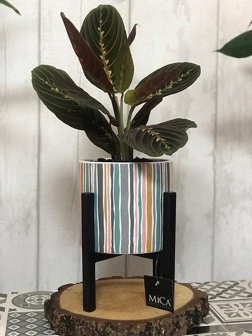 Maranta Fascinator in Striped pot & Mica Stand