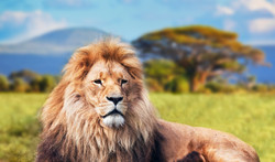 Big lion lying on savannah grass. Landscape with characteristic trees on the pla