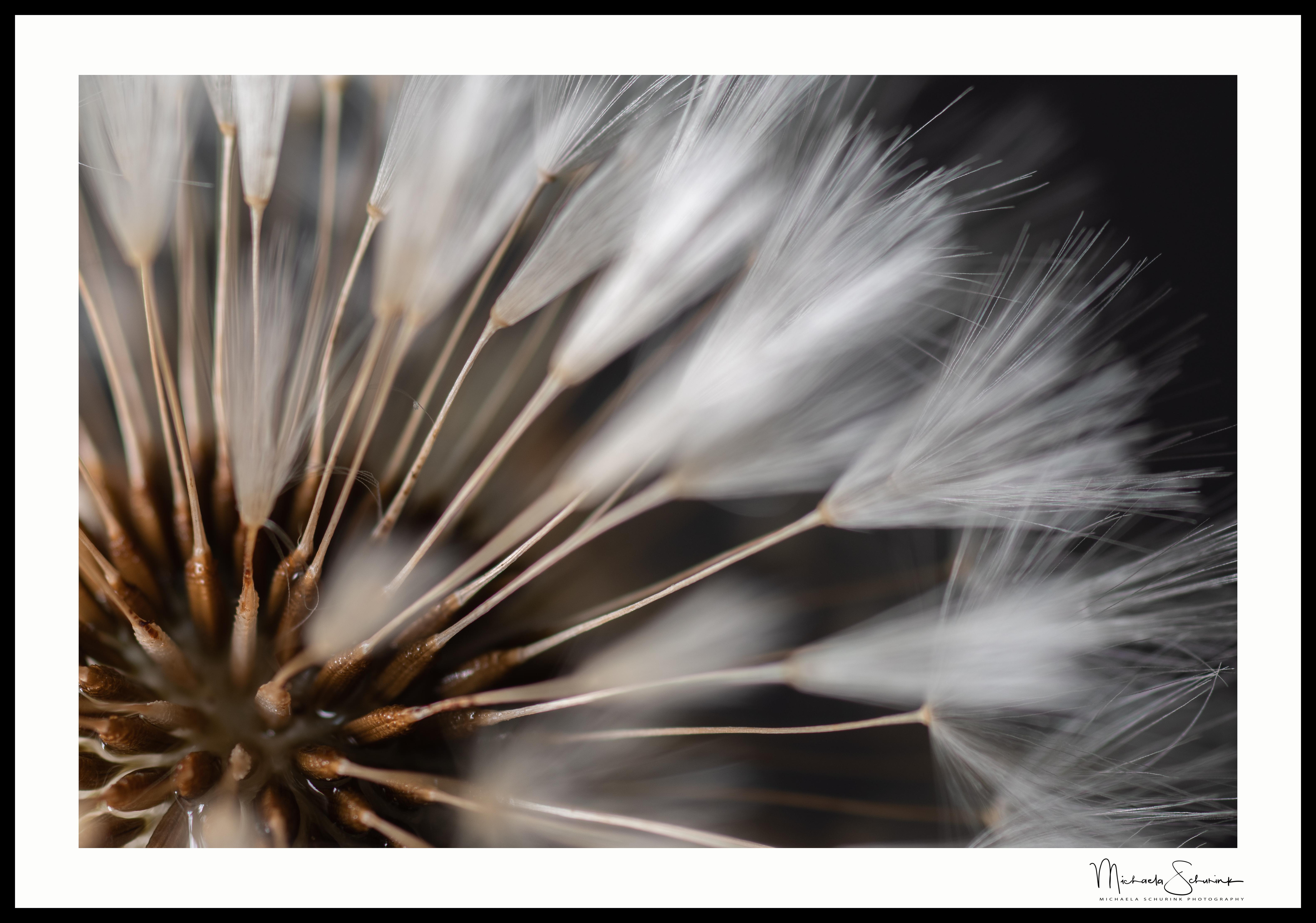 Dandelion_1