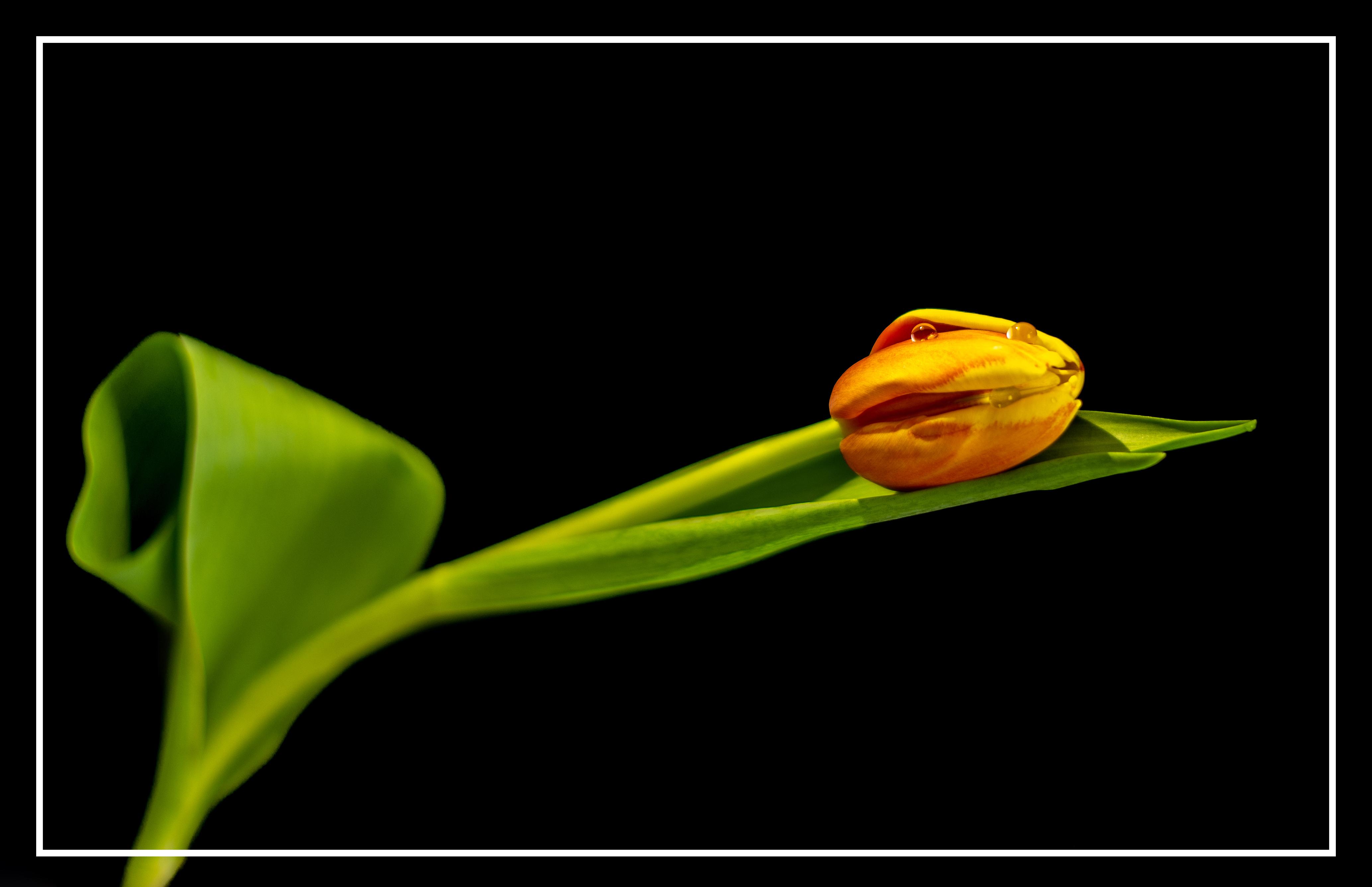 Tulpen_3_Rahmen