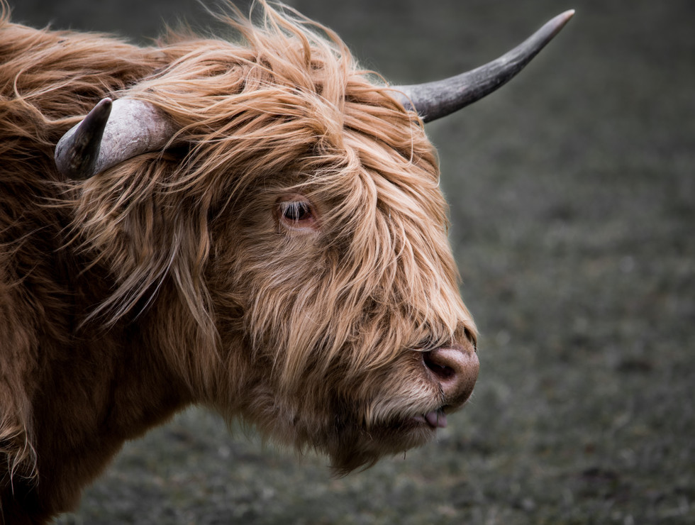 Highlandrind 2
