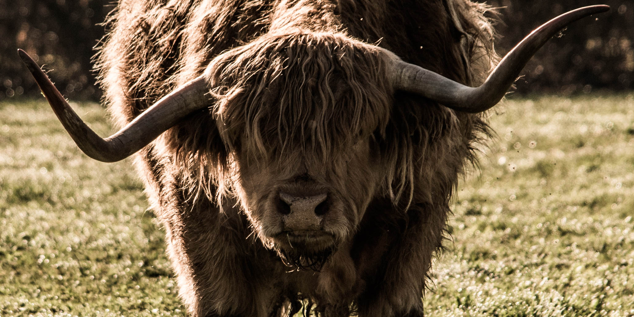 29_Highland cattle