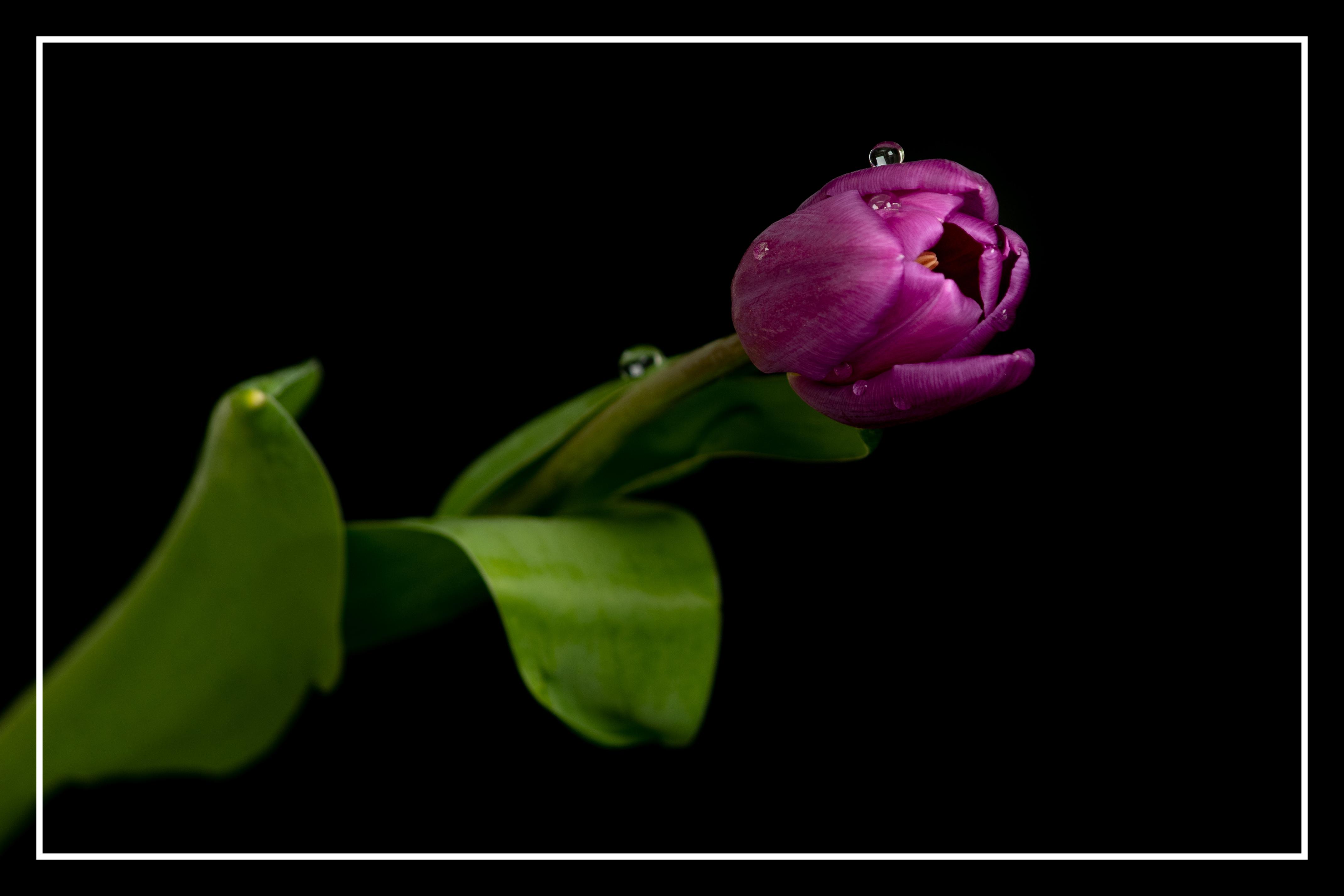 Tulpen_1_Rahmen