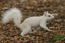 WhiteSquirrel.jpg