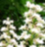 White Chestnut