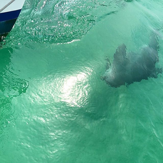 A dolphin looks up and trails a sailboat as it moves along in Destin, Florida.