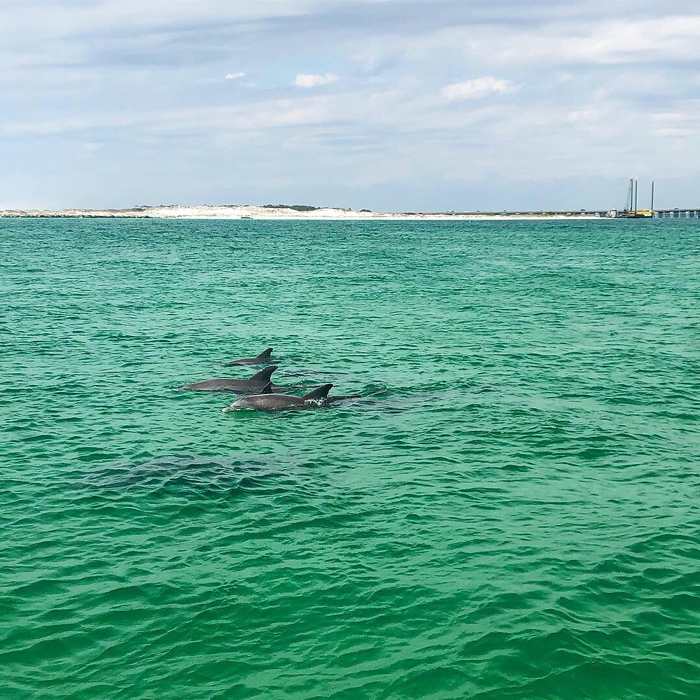 A pod of bottlenose dolphins swim through the East Pass in Destin, Florida. A newborn dolphin calf can be seen swimming between the two adults.