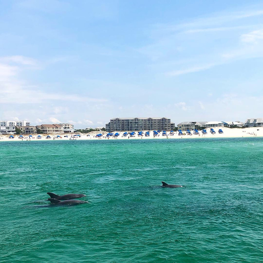 A pod of bottlenose dolphins swim through the East Pass in Destin, Florida on a sunny day. In the background sits a picture perfect white sandy beach.