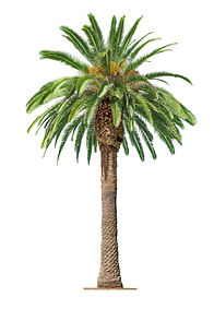 Green beautiful palm tree isolated on wh