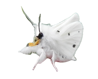 white%20moth_edited.png
