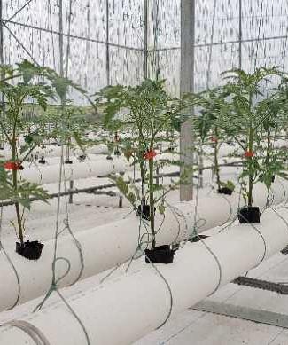 水耕小番茄生產基地