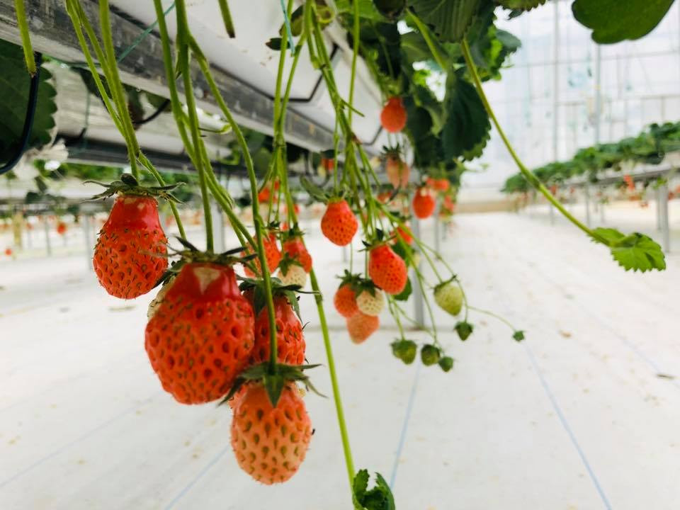 水耕草莓生產基地